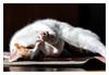 Cat Yoga (apodemetes) Tags: bern schweiz ch canonef100mmf28lmacroisusm canoneos5dmarkiv