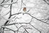Red Breast (MacGuffin56) Tags: bluebird avian