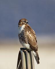 "Red-tailed Hawk on Irrigation Equipment (dennis_plank_nature_photography) Tags: ca california kbnwr klamath or oregon ""klamathbasinnationalwildliferefuges"""