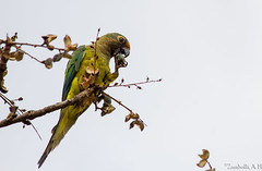 Eupsittula aurea (azambolli) Tags: parakeet periquito brasil ave bird animal nature natureza