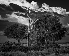 Three trees (svatopluk.velkoborsky) Tags: bw monochrome tree forest africa sky clouds