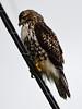 Red-tailed Hawk (juv) (glenbodie) Tags: 104 201803 bodie dncb dike glen glenbodie