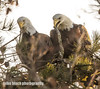 Bald Eagle pair working on new nest (Mike Black photography) Tags: bald eagle bird nature birding nj new jersey shore black white canon mike january 2018