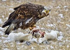 Bald Eagle w/swan 2954 (Jeff Brough) Tags: idaho jeffbrough eagle baldeagle prey haliaeetusleucocephalus juvenal juvenile