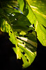 leaves.. (paul.wienerroither) Tags: leaves leaf nature bali lembongan indonesia light dark lightanddark green greenisbeautiful plant photography canon 50mm 5dmk3 justphotography travel