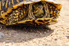 Ornate Box Turtle - Near Sand Creek, Colorado (BeerAndLoathing) Tags: rebel trip usa prarie roadtrip wildlife eos texastrip turtle colorado outdoors t3i canon may spring 2016
