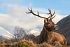 Stag (waynehavenhand1) Tags: animal stag reddeer deer