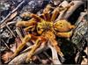 Schaurig schön (almresi1) Tags: spider spinne vogelspinne birdspider animal tier insect insekten nature insektopia macro