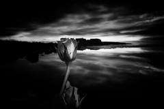 Rose noir (Black&Light Streetphotographie) Tags: mono monochrome landscape landschaft rose tiefenschärfe dof pov sony fullgrame vollformat