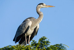 Heron (RobLesliePhotography) Tags: approved leica100400mm g80
