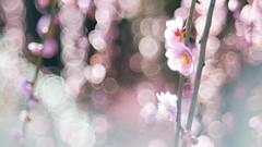 DSC03467 (Keishi Etoh rough-and-ready photoglaph) Tags: sony nex6 sonynex6 apsc nex modifiedm42pentaconav80mmf28 120mm pentacon mf manualfocuslens primelens fixedfocallengthlens oldlens m42 単焦点 中望遠 三池 大牟田 普光寺 fukohjitemple miike omuta flower