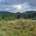 Fernworthy Forest, Dartmoor - regrowing clear-felled area