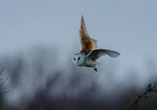 JWL0994  Barn Owl..