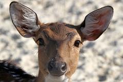 2017-10-01 Veszprém IMG_7627_ (horvath.balazs1980) Tags: veszprém állatkert zoo pettyes szarvas axis lame deer