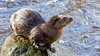 Wild Eurasian Otter 31-Jan-18 G 005 (gomo.images) Tags: 2018 aberdeen aberdeenshire animals country eurasianotter nature scotland years