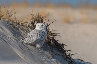 Snowy Owls of New Jersey | 2017 - 35