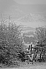 Sheep in the mist and snow (douglasjarvis995) Tags: pentaxart da300mmf4lens k1 pentax travel landscape farmhouse farming farm mist bushes gate fence snowstorm snowing snow sheep