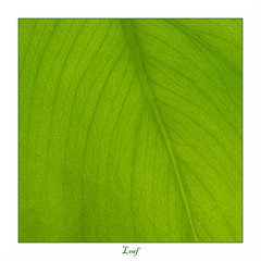 Leaf (Jump83) Tags: macromondays monochrome