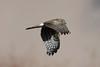 Pallid Harrier (Vinchel) Tags: india jammu kashmir ladakh shey marshes outdoor nature animal bird canon 5dm4 400mm sky