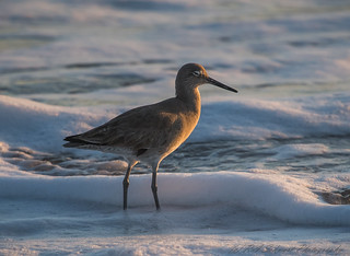 Willet on beach at sunset