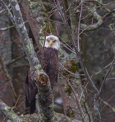 Perched And Mostly Mature (John Kocijanski) Tags: baldeagle eagle bird animal birdofprey wildlife nature canon7d orion80ed trees