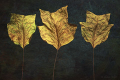 The Permanance of Fleetingness (shawn~white) Tags: 100mm canon6d nature shawnwhite autumn beauty blue cold deciduous fall gold harmonious leaf leaves primelens purity reminisce reminiscing spiritual strength studiolight sumptuous texture turquoise warm yellow