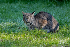 Bobcat (fascinationwildlife) Tags: animal mammal wild wildlife winter nature natur national park point reyes seashore usa america california luchs rotluchs lynx rufus feline elusive field hunting bobcat cat morning