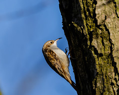 Tree Creeper (microwyred) Tags: forestwoods beak nature birds broadwaterstackpools brown oneanimal branch animal small birdwatching wildlife feather beautyinnature tree animalsinthewild forest treecreeper flying closeup outdoors bird abstracts perching animalwing