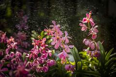 Orchids Thailand (♥siebe ©) Tags: 2018 chiangmai siebebaardafotografie thai thailand flower flowers orchid orchidee wwwsiebebaardafotografienl กล้วยไม้ ดอกไม้ ประเทศไทย เชียงใหม่ เมืองไทย ไทย