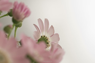 Dreams and Flowers I : Pink Passion