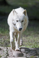 Arctic wolf walking (Tambako the Jaguar) Tags: arctic wolf canid canine dog white beige walking approaching portait stones servion zoo switzerland nikon d5