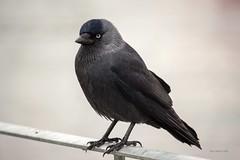 Jackdaw (Corvus Monedula) (ttbeep) Tags: jackdaw corvusmonedula birdwise theboldprivateer windermere thelakedistrictnationalpark calm canoneos700d springwatch