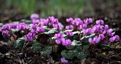Cyclamen (dorian.blake@btinternet.com) Tags: winter flowers flowering nymans nationaltrust petals gardens gardening plants blossoms cyclamen