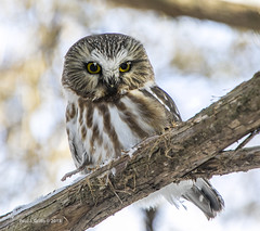 Bright Eyes!    .......(a must enlarge ...read below) (jackalope22) Tags: owl saw whet bird nature pine george wyth park northern
