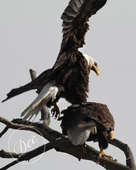 Eagles doing their thing (Mike and Dee Brown) Tags: baldeagles baldeaglesmating ohio nature tree raptor
