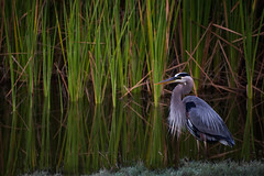 Early on the lake (Beth Reynolds) Tags: heron blue lake reeds birds fresh water early calm fowl nature stpetersburg florida great