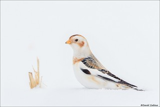 Snow Bunting in Cornfield
