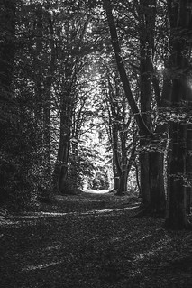 a jogger made diminutive by towering trees crosses a sun-soaked break in a forest tree avenue and is about to enter the shade. Fine art black & white. Bois de Breuil, near Honfleur, Calvados, Normandy, France