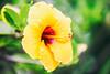 She's Not Sure (Thomas Hawk) Tags: fairmont fairmontkealani fairmontkealaniresort hawaii hotel kealani maui wailea flower hibiscus fav10 fav25