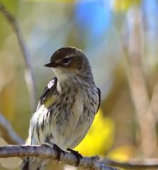 One More (ACEZandEIGHTZ) Tags: coronata warbler songbird backyard birdwatcher bokeh nikon d3200 setophaga dendroica yellowrumped avian nature feathered female portrait coth alittlebeauty coth5 sunrays5