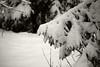 Lumine mets (Jaan Keinaste) Tags: pentax k3 pentaxk3 eesti estonia loodus nature mets forest talv winter lumi snow kuusk spruce