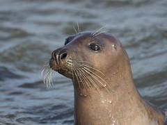 M2174244 E-M1ii 300mm iso200 f4 1_1250s SingleAF (Mel Stephens) Tags: 20180217 201802 2018 q1 4x3 wide uk scotland aberdeenshire olympus mzuiko mft microfourthirds m43 300mm pro omd em1ii ii mirrorless newburgh river ythan coast coastal animal animals seal seals nature wildlife water best