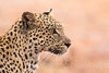Itumeleng hunting in the rain (Willievs) Tags: pantherapardus kgalagadi wildlife leopard luiperd itumeleng rain hunting specanimal