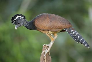 Great Curassow (Crax rubra) - female