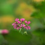 Pinks on Green thumbnail