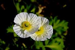 PAVOT D ISLANDE .EXPLORE. (Marie-Laure Larère) Tags: fleur pavotdislande explore