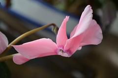 (doloreslopez2) Tags: flor flowers flordeinterior