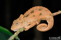 Bradypodion nemorale -Qudeni Dwarf Chameleon. (Tyrone Ping) Tags: bradypodion nemorale qudeni dwarf chameleon rare tyroneping wwwtyronepingcoza chameleons africa forest kzn kwazulunatal endangered species 100mmmacrof28 canon closeup 5dmiii mt24ex wild wildlife wildherps wildanimals reptile reptilesofsouthafrica cute nature natural southern southafricanreptiles herping herpetology creature creatures critter critters