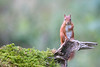 Red Squirel (j.arnold32) Tags: red squirel