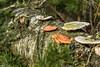 DSC05081 (R.Z.fotografie) Tags: veluwe fungi nederland paddestoel schimmels boom bos natuur netherland nunspeet